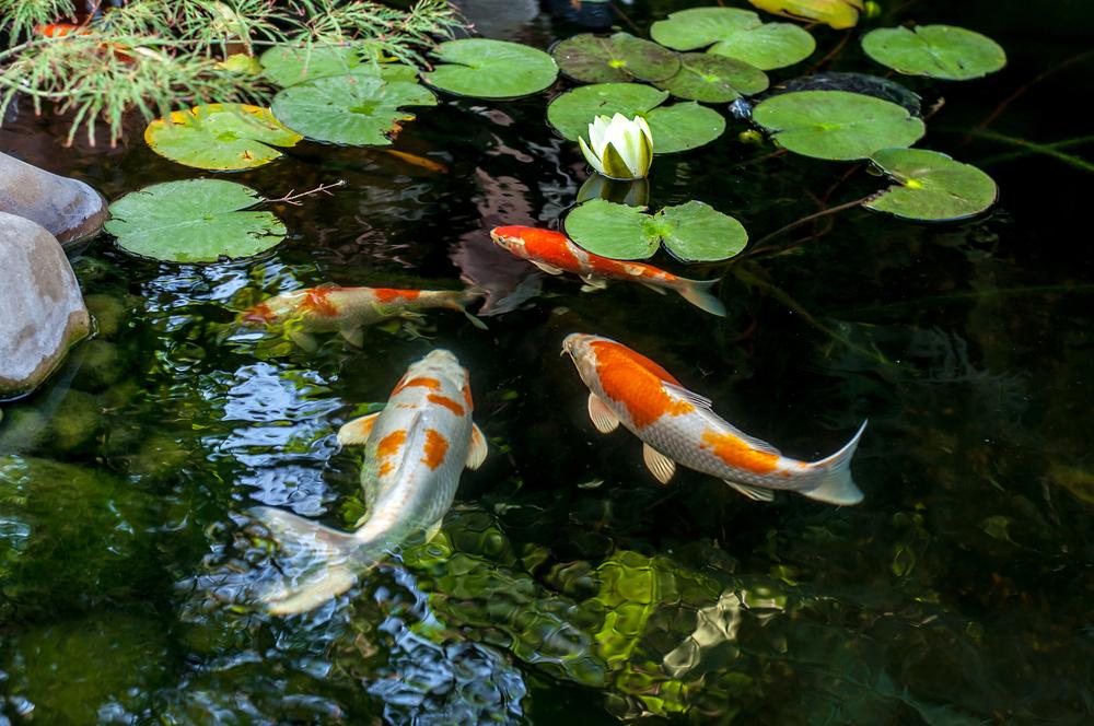 Karpers In Tuin : The steta luxueuze tuin met vijver voor karpers
