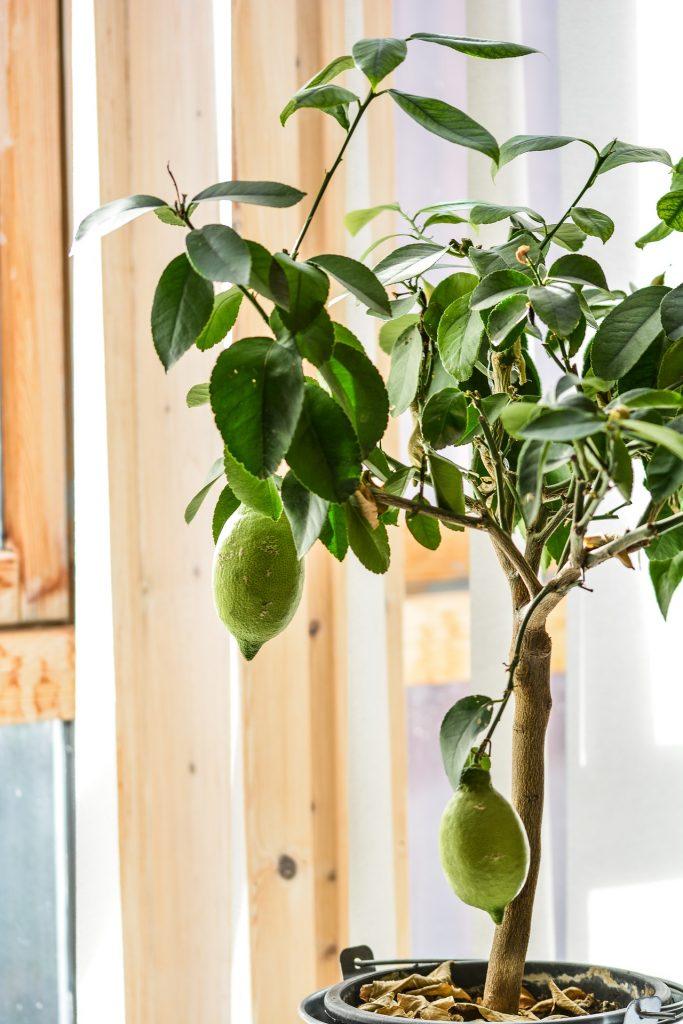 Citroenplant