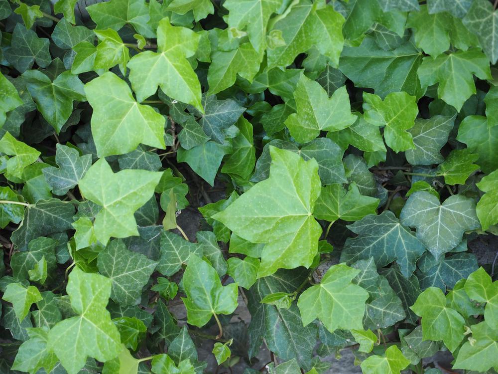 Creëer een onderhoudsvriendelijke tuin met deze 9 bodembedekkers