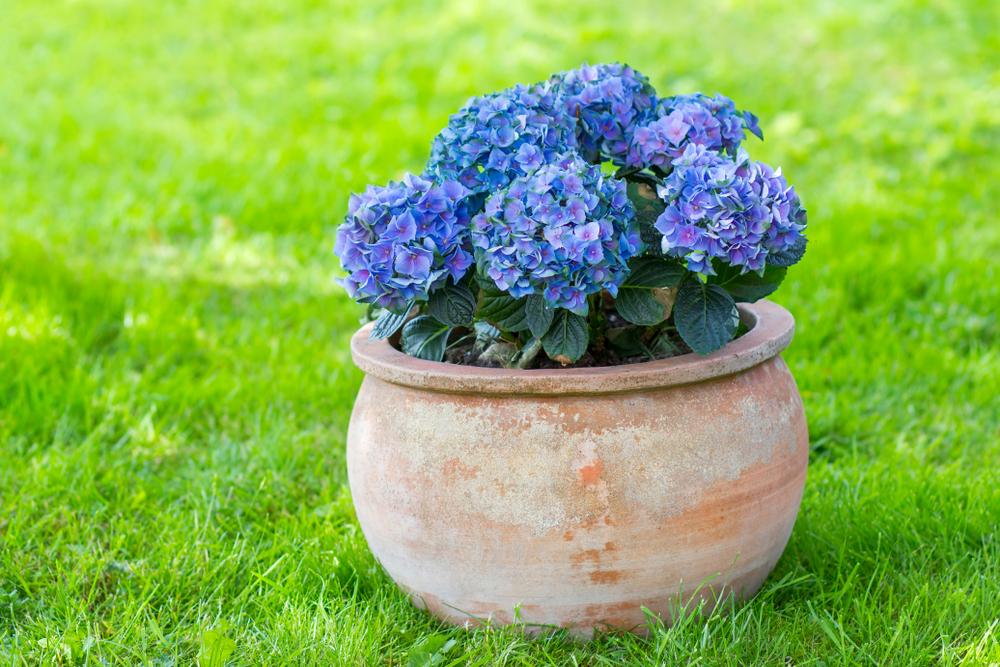 Hortensia verplanten