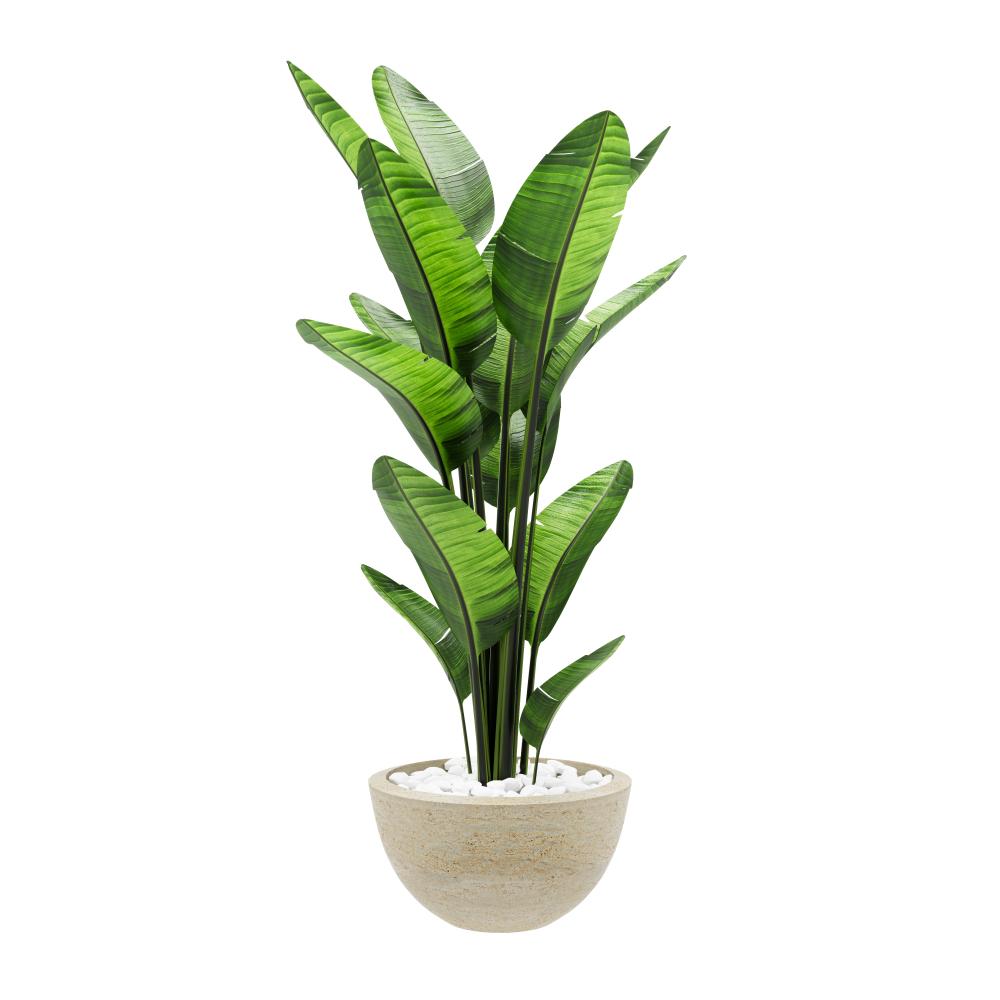 De bananenplant voor binnen en buiten