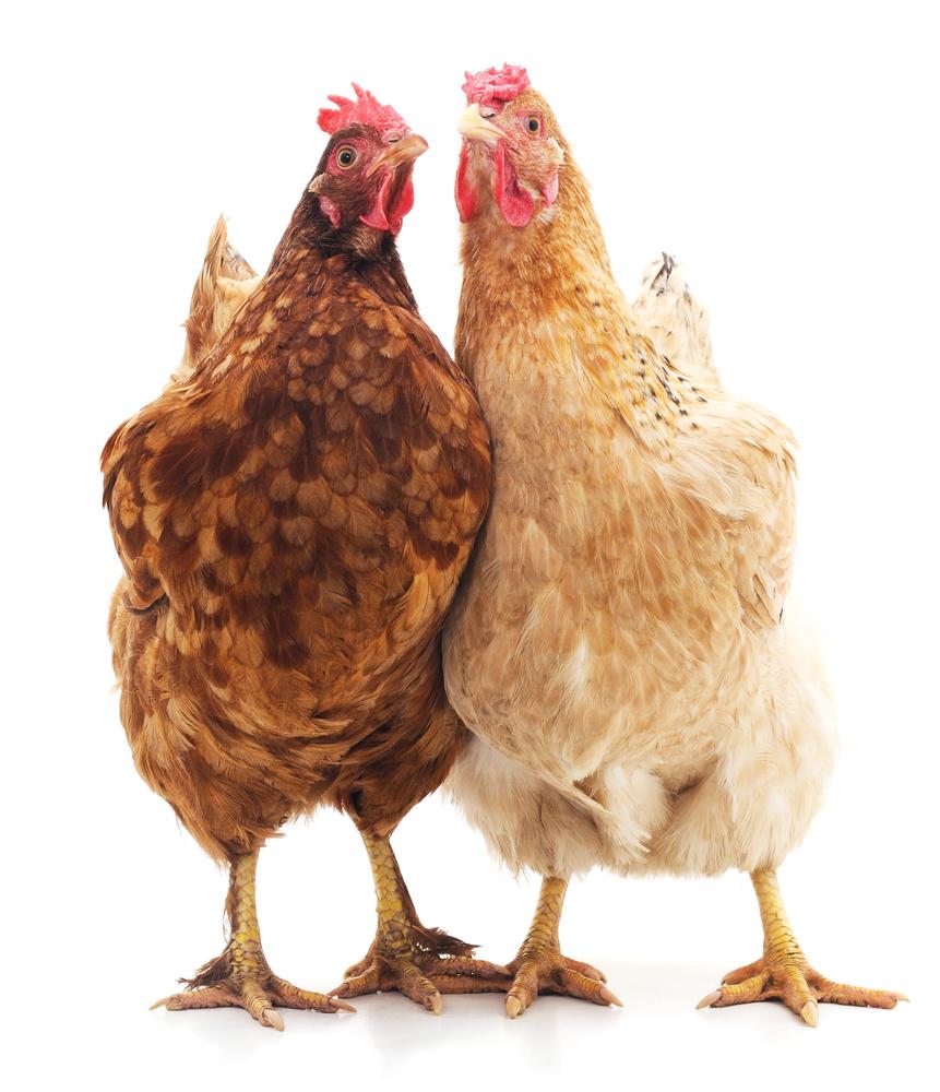 Stappenplan om zelf een kippenhok te maken
