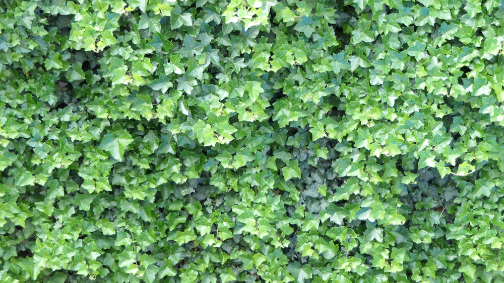 wintervaste planten klimop hedera