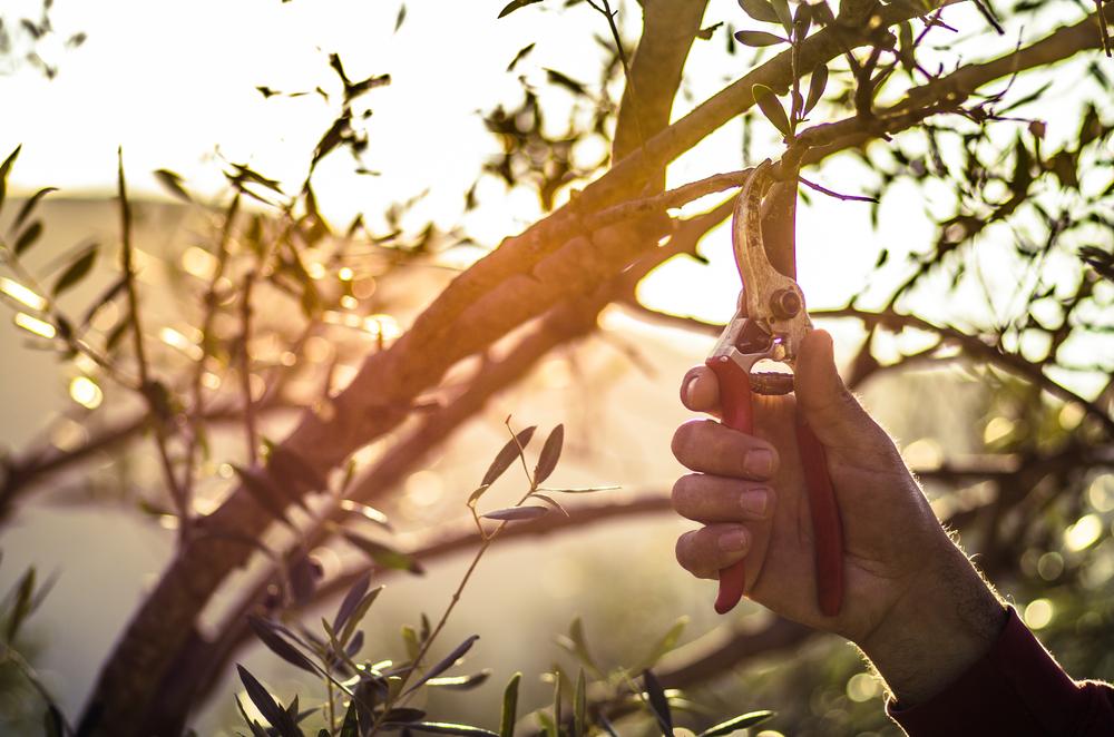 Olijfboom snoeien, wanneer en hoe snoei je een olijfboom